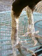 ayam burma kaki besi/jalu renteng