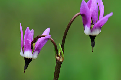 Dodecatheon jeffreyi (Jeffrey's Shootingstar)