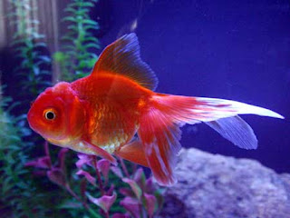 Most Popular Best Pets In The World - Fish