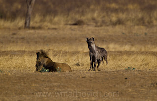 hyenas very angry on lion