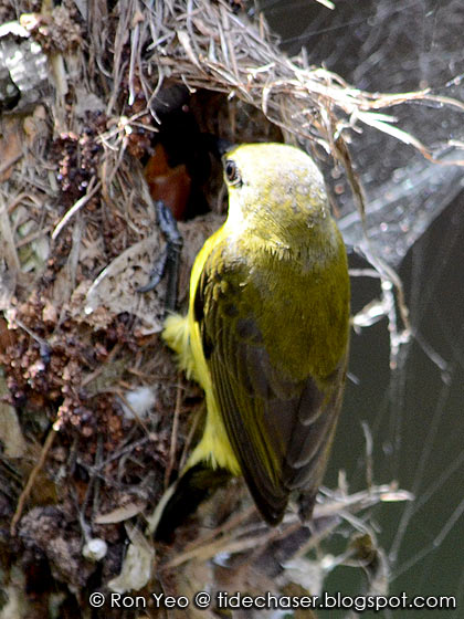 Olive-backed Sunbird (Cinnyris jugularis) nest