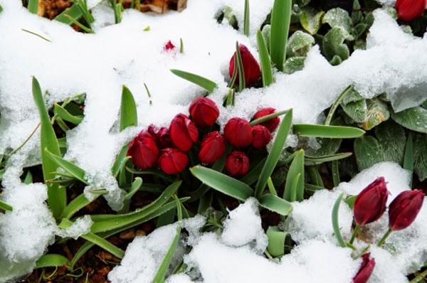 tải hình nền hoa tulip cho máy tính