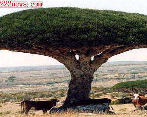 8000歲龍血樹2