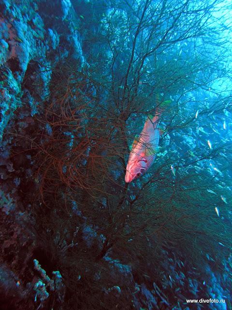 Рыба в ветвях черного коралла
