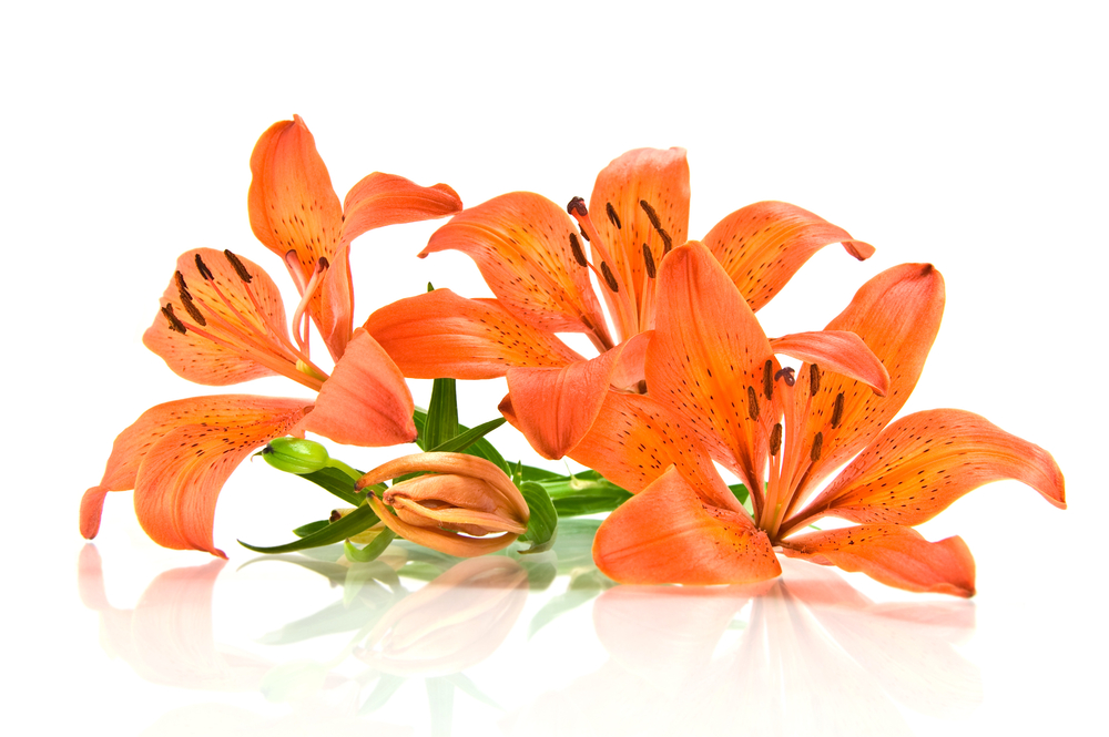 Guest Post All About Orange Lilies