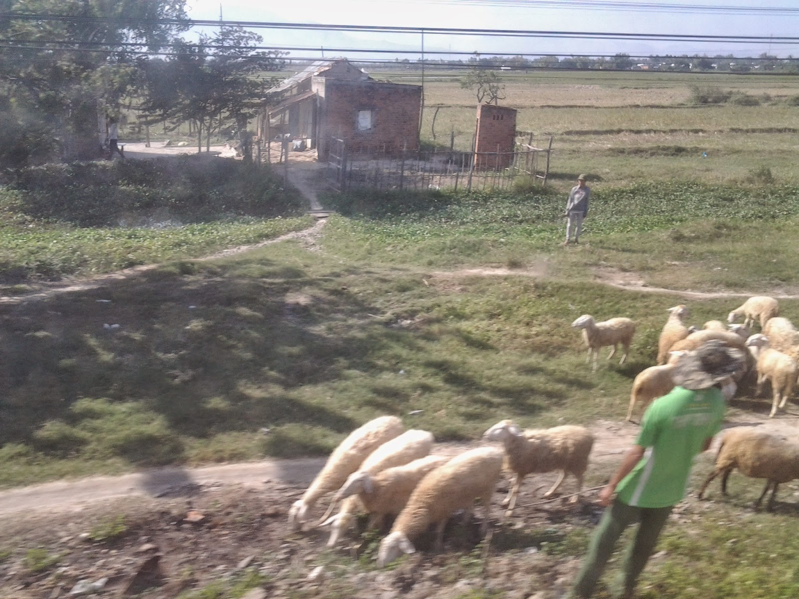 Vietnam Holiday train scenery: sheep