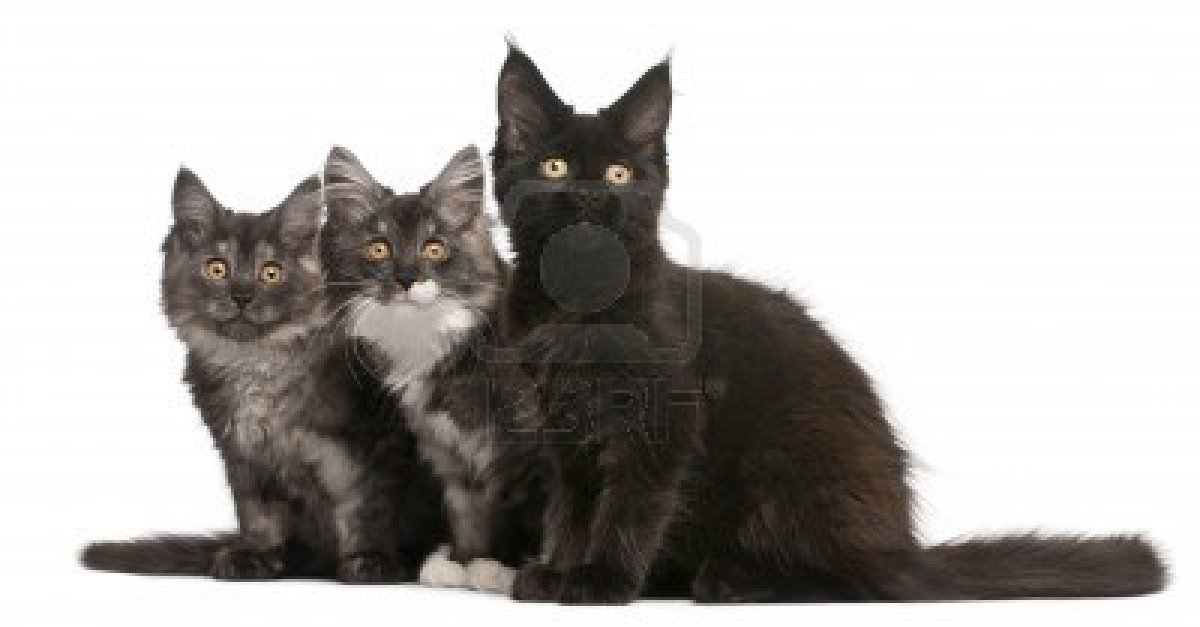 Black and White Maine Coon Kittens wallpapers