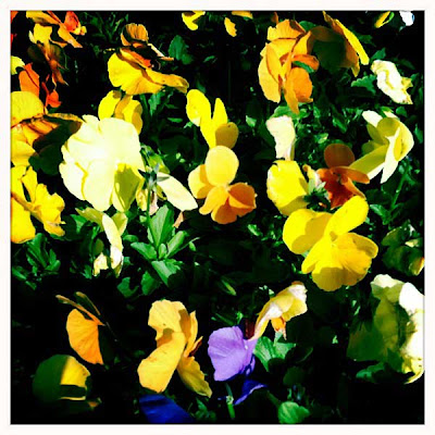 Easter-Pansies-2011