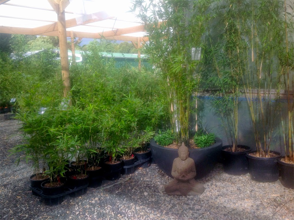 Stunning bamboo in Bamboo creations nursery, Riddells Creek Melbourne