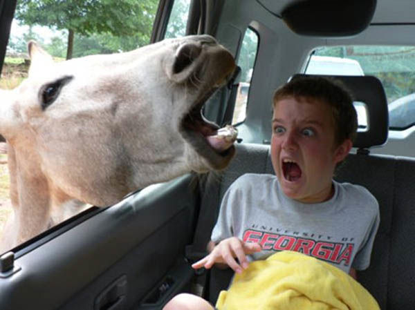 A Donkey Scares a Child in a Car