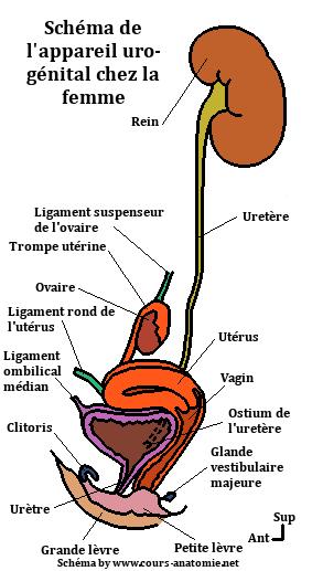 anatomie de l'uretère Sche%CC%81ma%2Bappareil%2Buro-genital%2Bchez%2Bla%2Bfemme