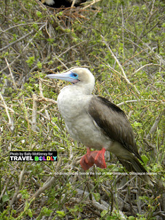 Travel Boldly Galapagos Island - A blue-footed booby with an egg on Isla Lobos.