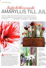 AMARYLLIS TILL JUL