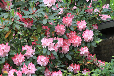 Dunn Gardens - Rhododendron Trusses