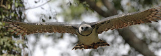 Harpy Eagle Wallpapers