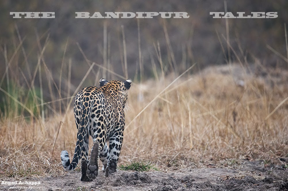 Leopard, Big Cat, Bandipur, Bandipur National Park, Karnataka, India, Wildlife Photography, Indian Wildlife, top indian wildlife photographers, top indian photographers, panthera