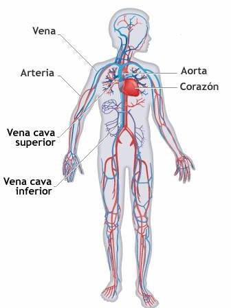 AULA DE PRIMARIA: Las arterias, las venas y los capilares