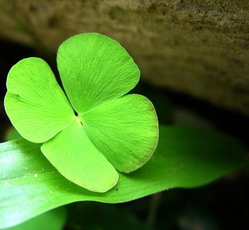 Cỏ 4 lá - Bí mật của may mắn (Phần 4)
