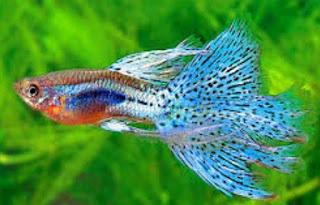 Tips Cara Membudidayakan Ikan Guppy