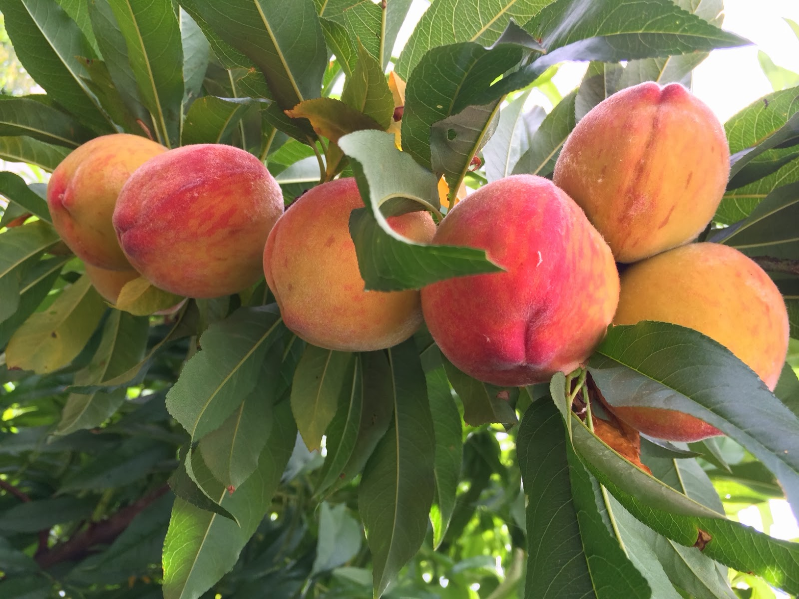 lower peach tree muslim To fruit buds and may also cause tree damage  lower chilling (450 to 550 hours) in order to have  suggested peach varieties for alabama 3.
