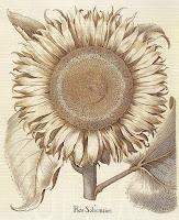 http://2.bp.blogspot.com/-kanVfNMKcN0/UcPw5j6_i8I/AAAAAAAAhd4/sXK5d1h-bAE/s1600/sunflowerbotanical.jpg