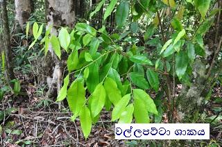 Walla Patta -Gyrinops walla price in sri lanka