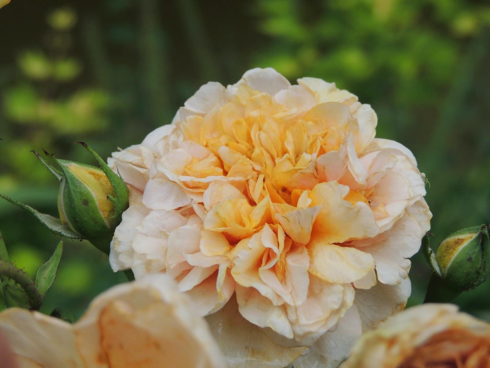 Mary Rose me fascine par sa grande délicatesse et par le négligé étudié de ses jupons se superposant harmonieusement . dommage que cette princesse se