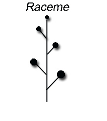 Raceme: an elongated inflorescence   Botany word of the day Raceme Inflorescence
