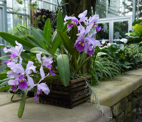 The orchid column where do i cut my cattleya after it blooms How do you care for orchids after they bloom