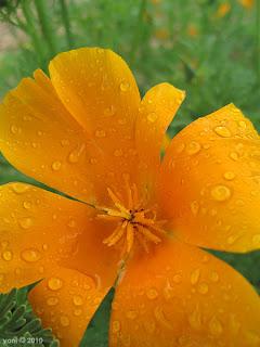 orange drops, sydney