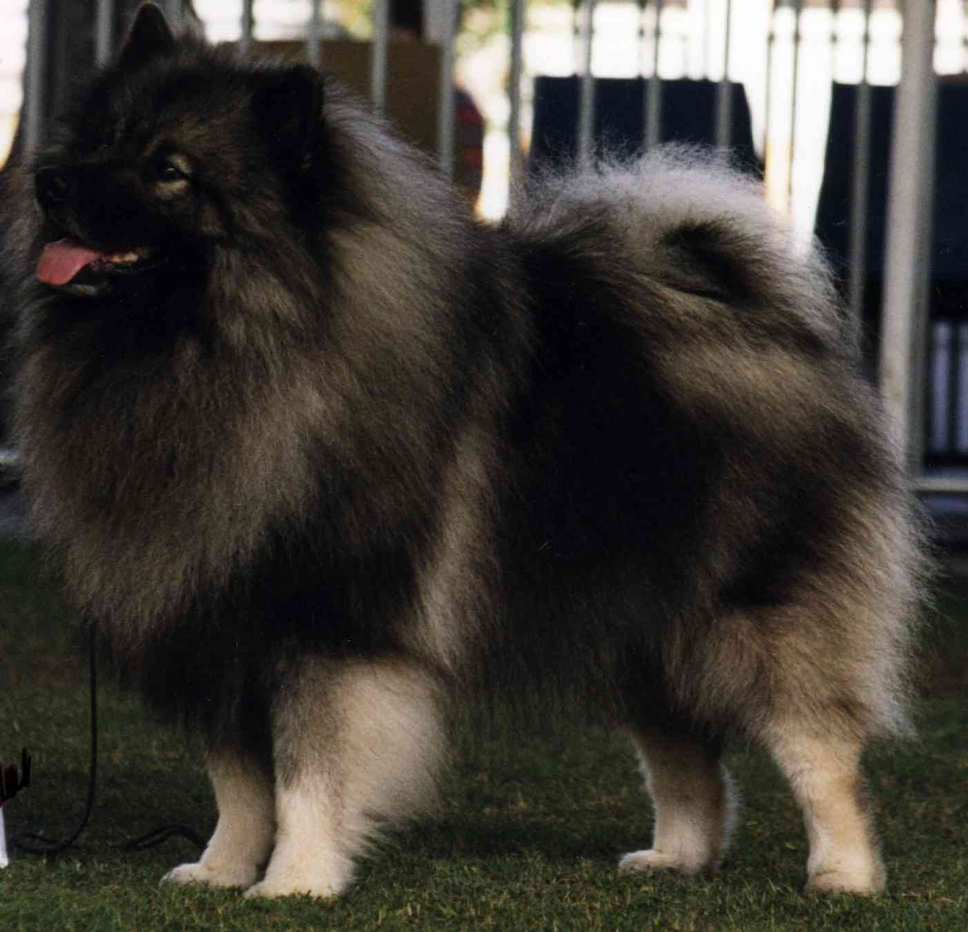 Keeshond Dog Info Fun Animals Wiki Videos Pictures