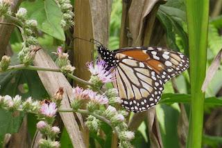 Danaus erippus, Southern Monarch