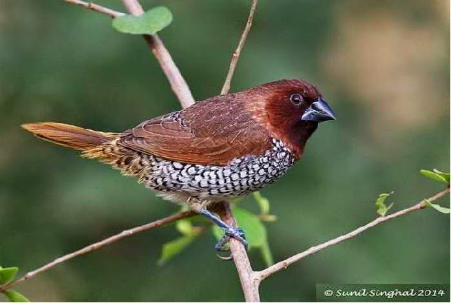 Burung Pipit Pemakan Biji-bijian