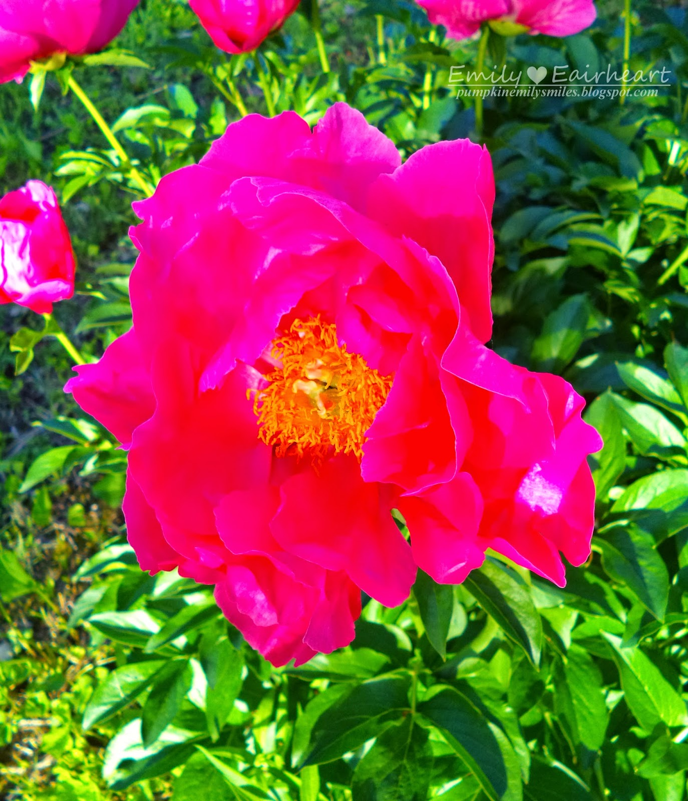 A opened hot pink Peonie.