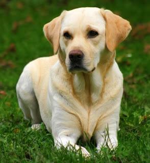 Labrador Retriever Dog Pictures