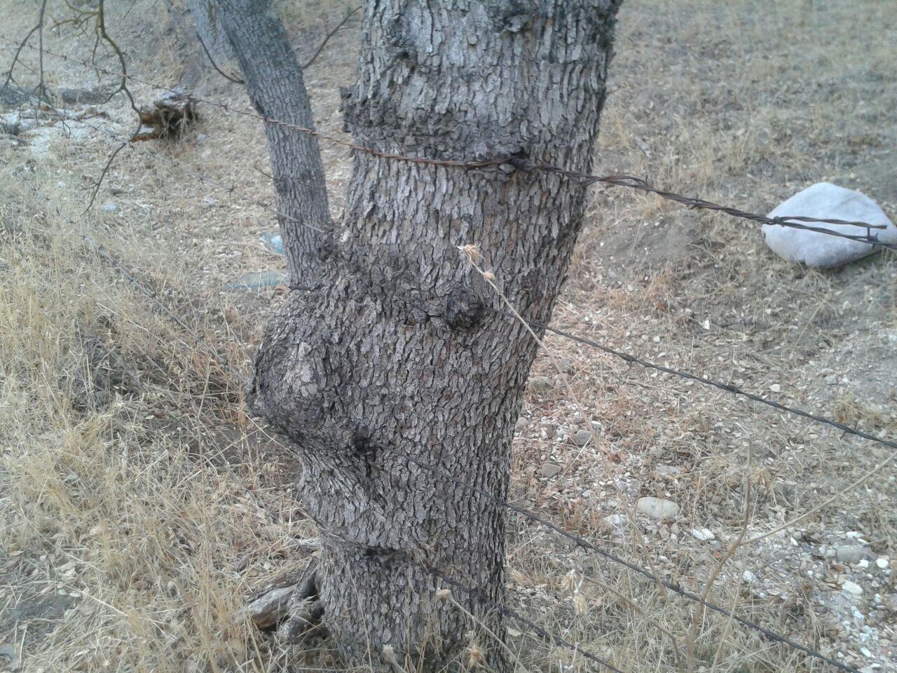 Oak Watch: Oak Abuse - This just in: Oak trees grow