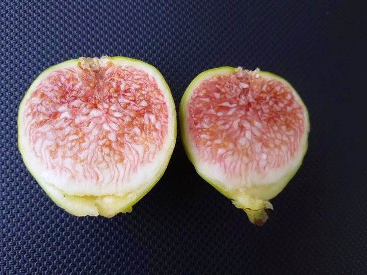 Figs : Prestone Prolific