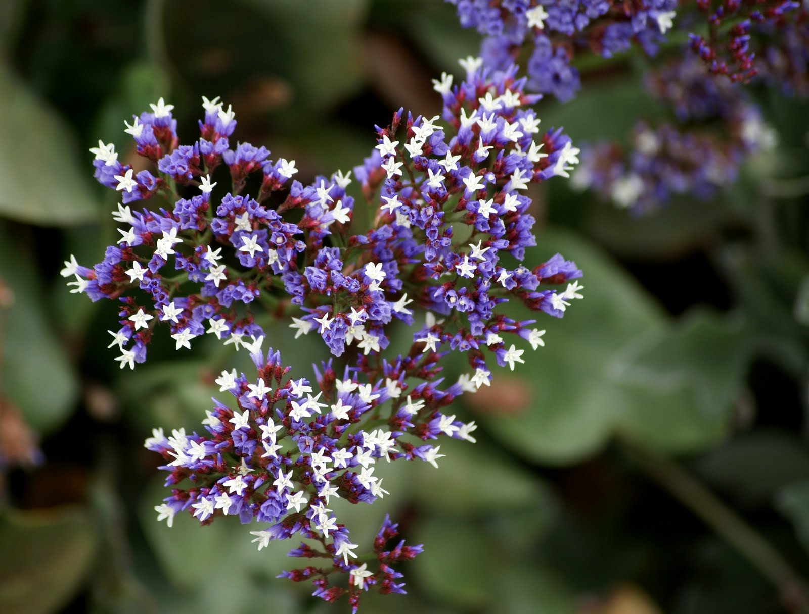 A photo A thought Plant Statice flower or sea lavender