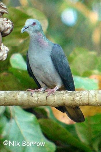 Sao Tome bronze naped pigeon Columba malherbii