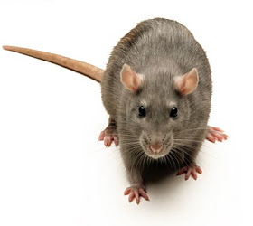 kencing tikus