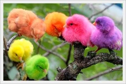 Anak ayam warna warni