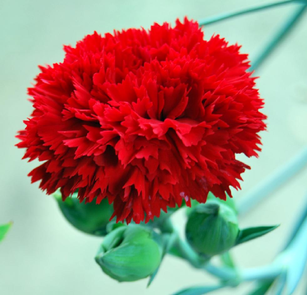 Fotos de flores claveles de varios tipos y colores - Fotos de rosas de colores ...