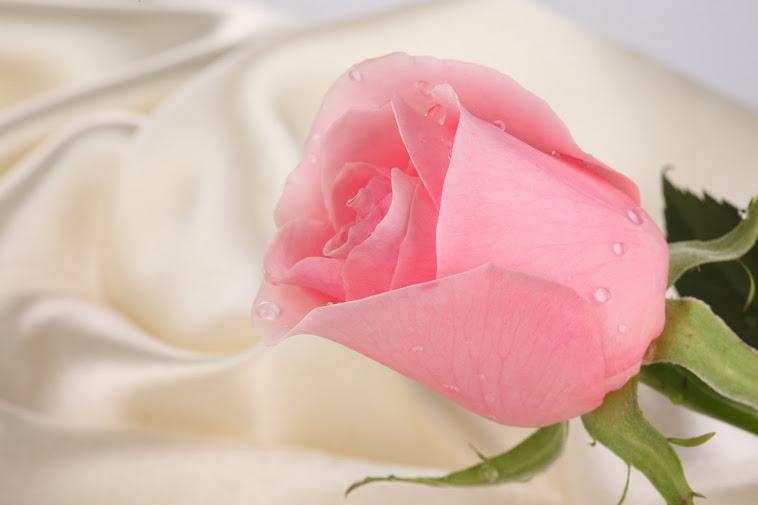 mawar macam macam warna bunga mawar
