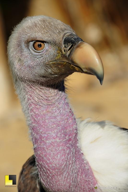 Portrait de vautour fauve exposition mars 2013 saint vincent de barrès photographie pascal blachier Au delà du cliché