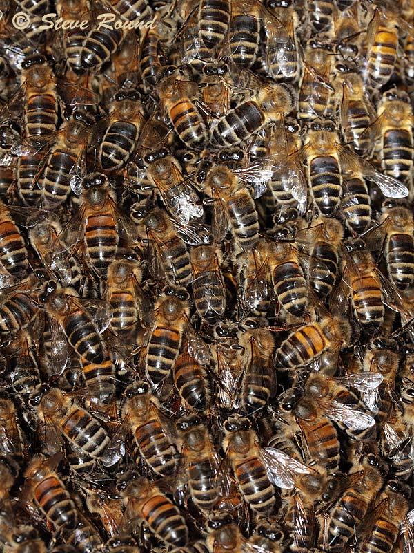 honey bee, insect, swarm, nature, wildlife