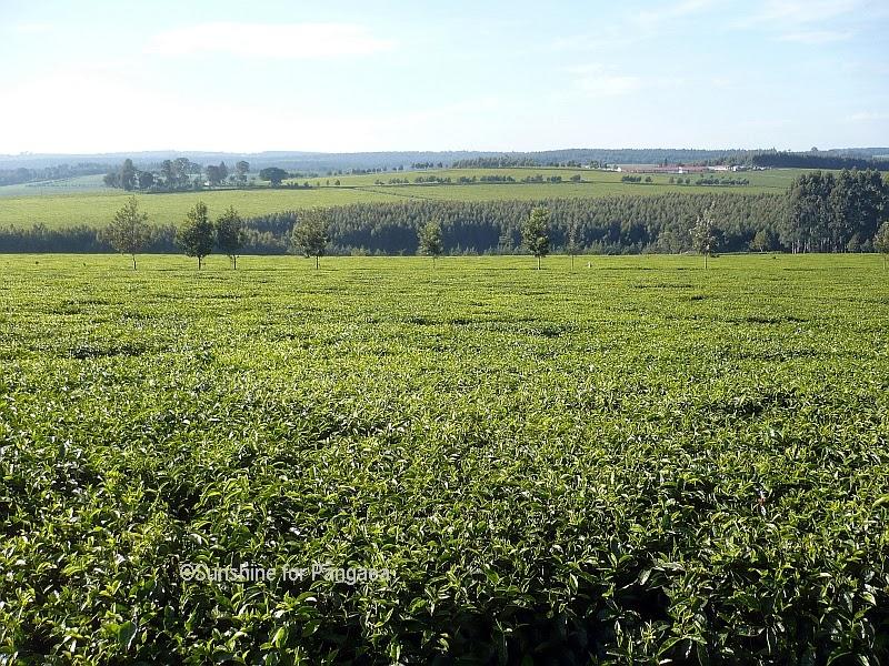 Tea fields by Kericho