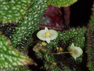 Jardineria, Catalogo de Plantas: Begonia masoniana