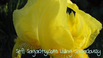 yellow iris up close