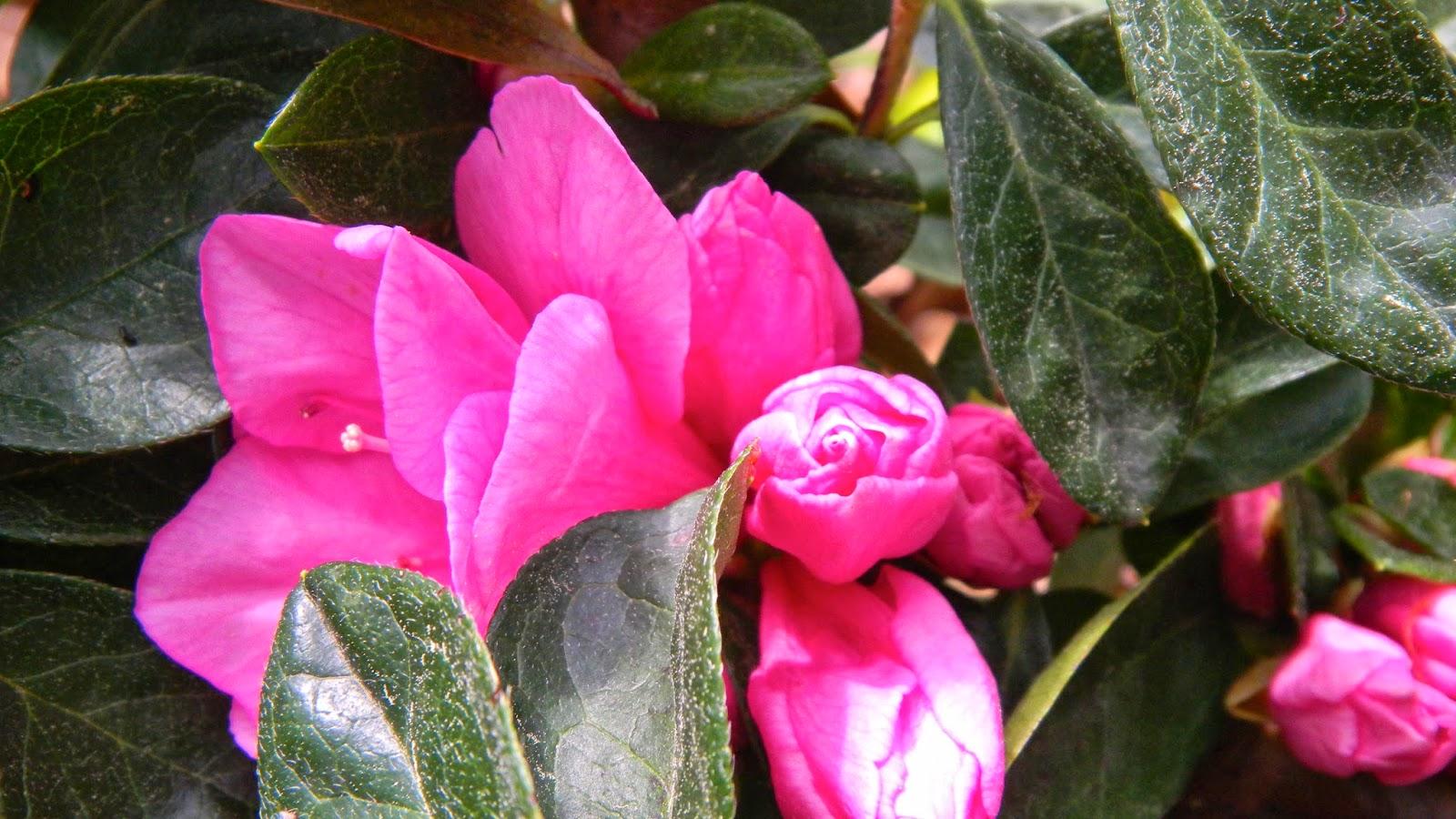 Pink Ruffles azalea