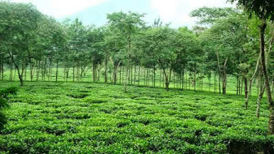 Mari Berlibur Melepas Stres di Agrowisata Kebun Teh Wonosari  Selain tersohor karena memiliki agrowisata kebun apel. Kota malang juga terkenal memiliki iklim yang mirip dengan kota Bandung sehingga sangat cocok untuk perkebunan teh, dan salah satu perkebunan teh yang dimanfaatkan sebagai objek wisata agrowisata teh yang harus Anda kunjungi saat di kota malang ini adalah Agrowisata Kebun Teh Wonosari.   Lokasi AgroWisata Kebun Teh Wonosari.    Taken from wisatamelayu.com Lokasi Agrowisata Kebun Teh Wonosari ini termasuk dalam wilayah administrasi Desa Toyomarto, Kecamatan Singosari, Malang. Yang berada sekitar 30 km ke arah utara kota Malang, dan berlokasi di kaki Gunung Arjuno. Kawasan Agrowisata Kebun Teh Wonosari ini merupakan kawasan kebun teh yang pertama ada di Jawa Timur yang berkonsep wisata kebun. Dari almarhum Ir. Drs. Soebiarto MM, yang merupakan mantan Direktur Sumber Daya Manusia (SDM) Direksi PTPN XII yang menjabat tahun 1998 inilah yang memunculkan ide konsep Agrowisata Kebun Teh Wonosari Malang ini.   panorama Agrowisata Kebun Teh Wonosari.  Saat anda berkunjung ke Agrowisata Kebun Teh Wonosari ini. Maka anda akan disajikan sebuah keindahan alam dengan udara sejuk yang jauh dari polusi kendaraan layaknya di kota-kota besar. Kesegaran udara sudah mulai terasa saat anda baru memasuki kawasan ini, hal ini tentu tak lepas dari letak geografis objek ini yang memang berada di kaki Gunung Arjuno.  Tak cuma itu destinasi wisata ini juga menyajian panorama pegunungan dan pemandangan yang kehijauan tentunya sungguh sangat indah dan memanjakan mata kita, hal ini pula yang kian menjadikan tempat ini menjadi salah satu objek yang recommended untuk melepas penat yang anda alami.   Taken From koswisata.blogspot.com  Mak tidak mengherankan jika banyak wisatawan lokal maupun wisata asing begitu tertarik untuk menjelajahi perkebunan teh Wonosari dan ingin kembali lagi. Tak sedikit pula para orang Belanda serta para wisatawan asing lainnya yang sering datang ke Agrowisa